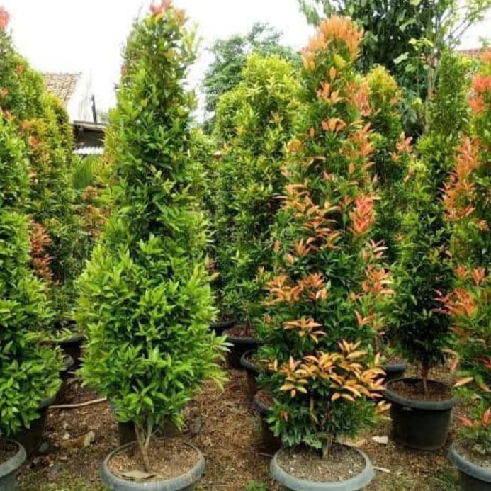Pohon pucuk merah tinggi 1,50cm
