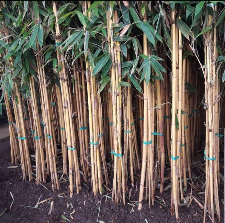 Pohon bambu kuning panda