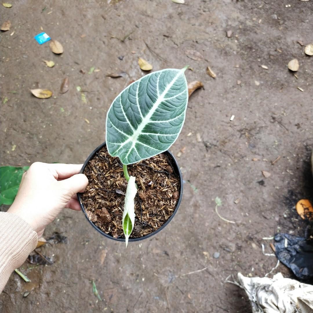 Alocasia black velvet menuju 2 daun