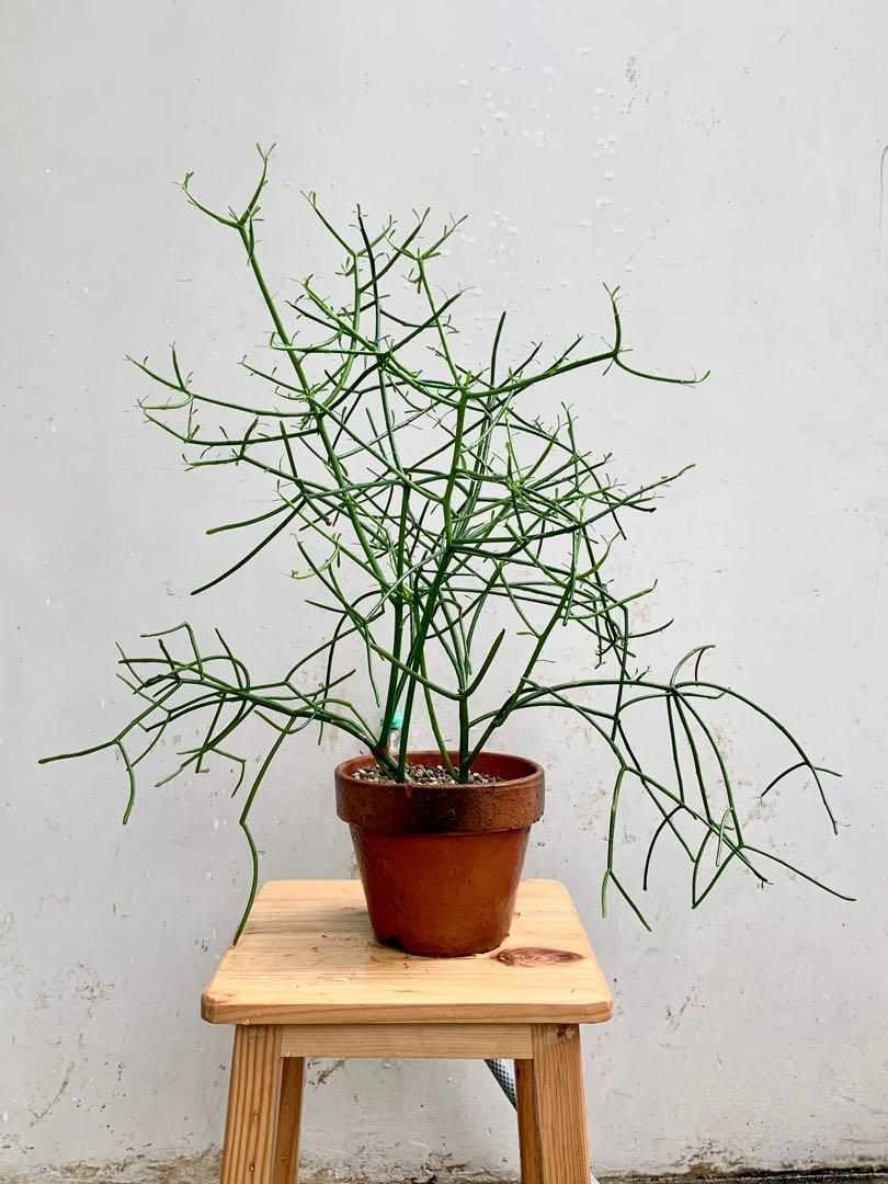 Kaktus patah tulang / pencil cactus (free pot terra-cotta) #tanaman