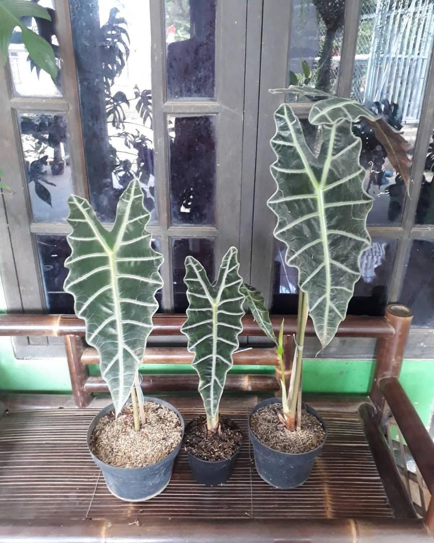 Tanaman Alocasia Amazonica/Tanaman Alocasia tengkorak