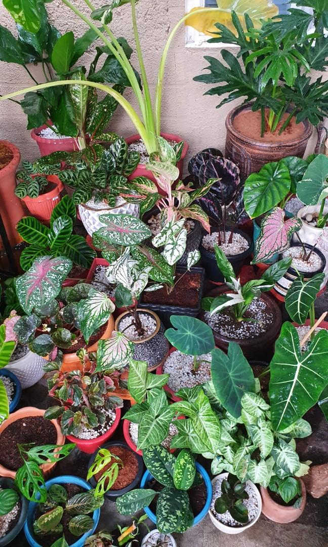 Rare Healthy Indoor Outdoor Plants Calathea Monstera Caladium Fittonia Succulents Alocasia Philodendron Gardening Flowers Plants On Carousell