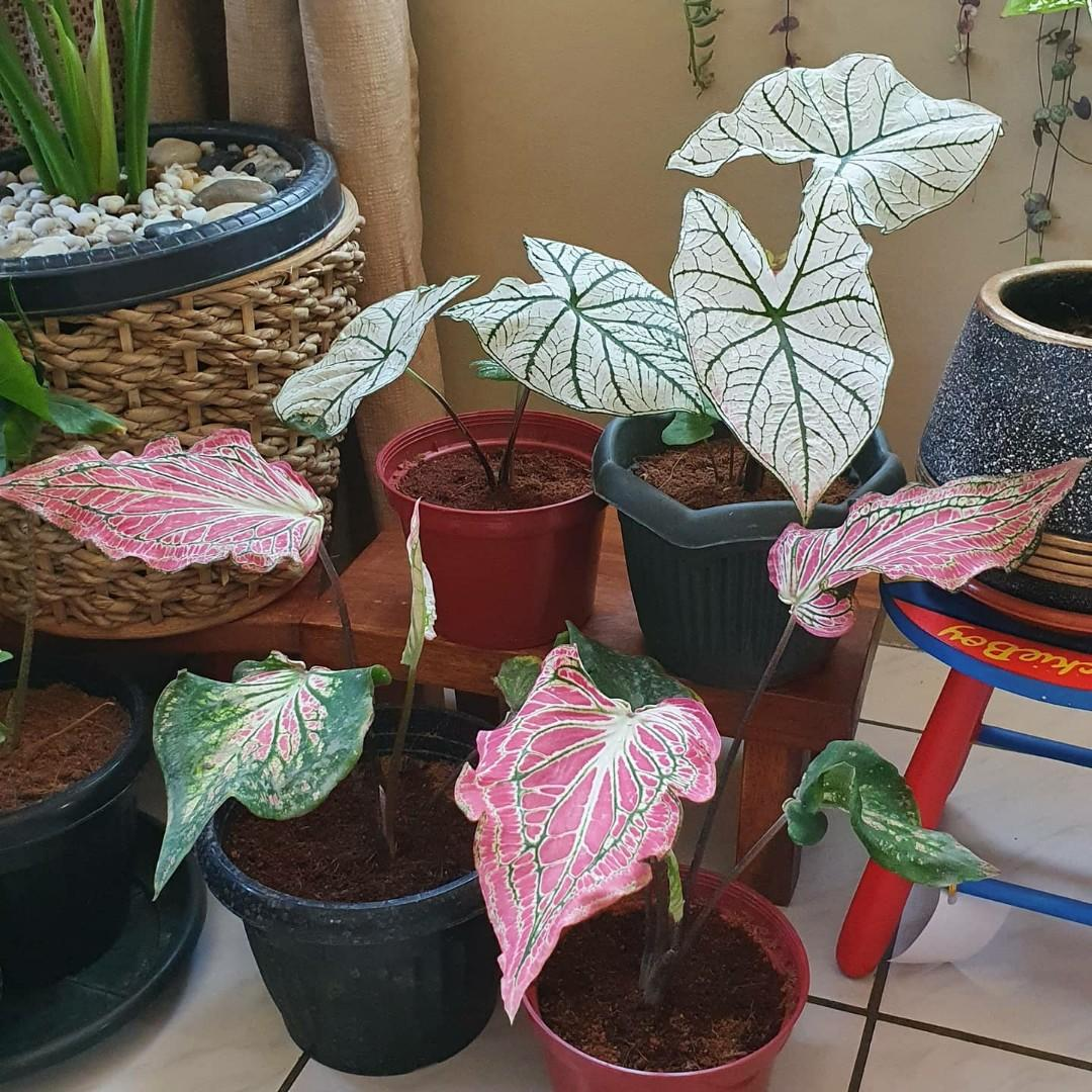 Beautiful Healty Caladium White Christmas Thai Beauty Indoor Outdoor Ornamental Plants Gardening Flowers Plants On Carousell