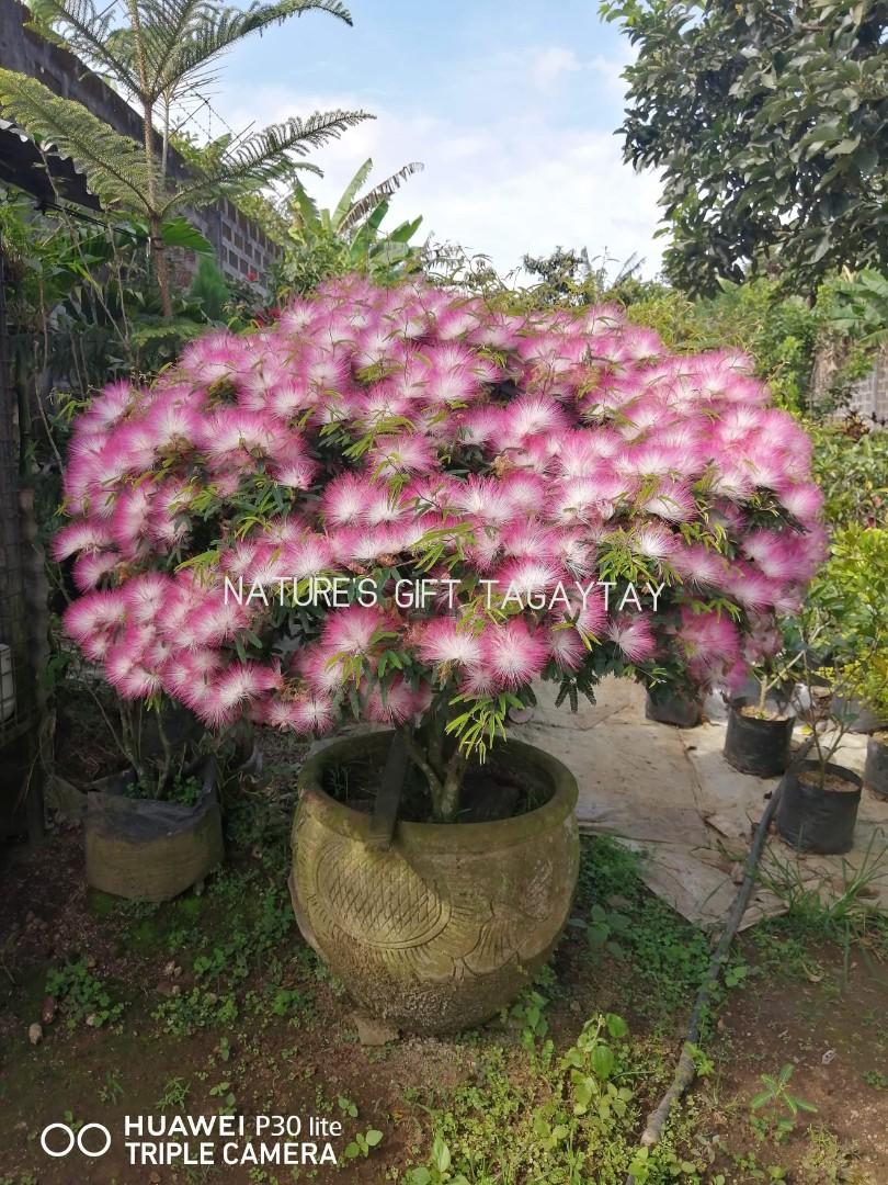Bonsai Powder Puff Gardening Flowers Plants On Carousell