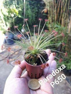 Carnivorous Plant: Drosera Paradoxa