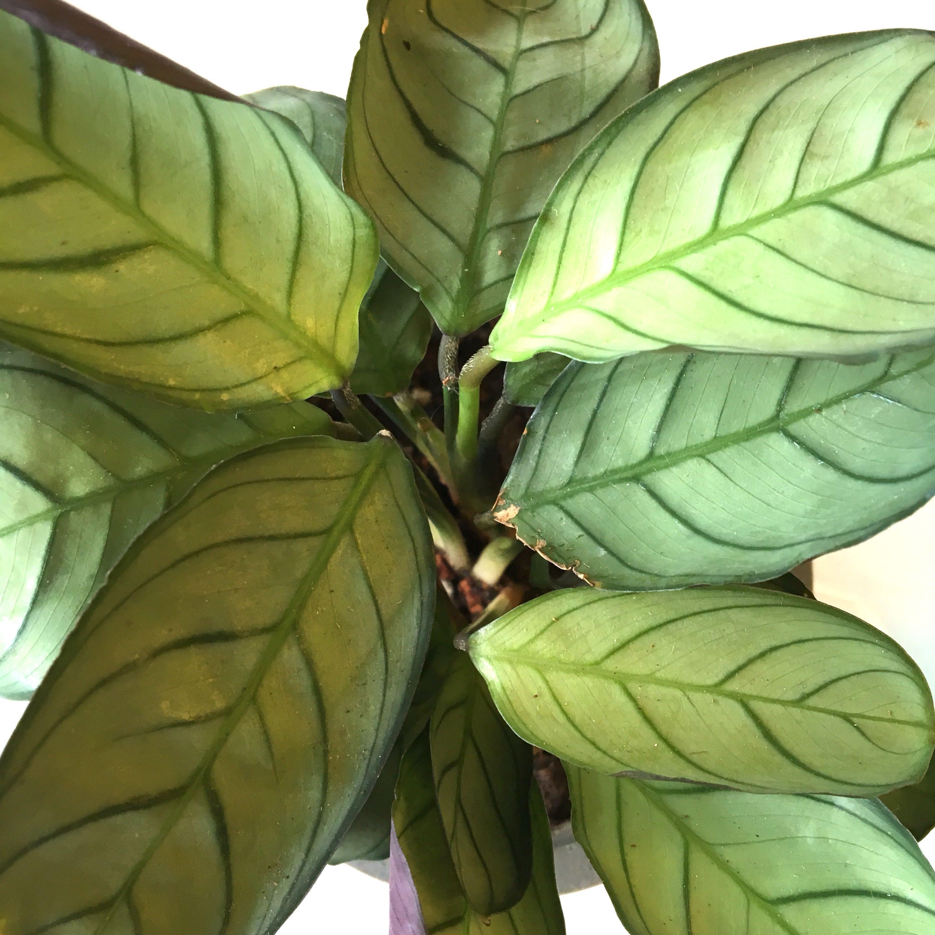 Plant Ctenanthe Burle Marxii Amagris Fishbone Prayer Plant Gardening Plants On Carousell