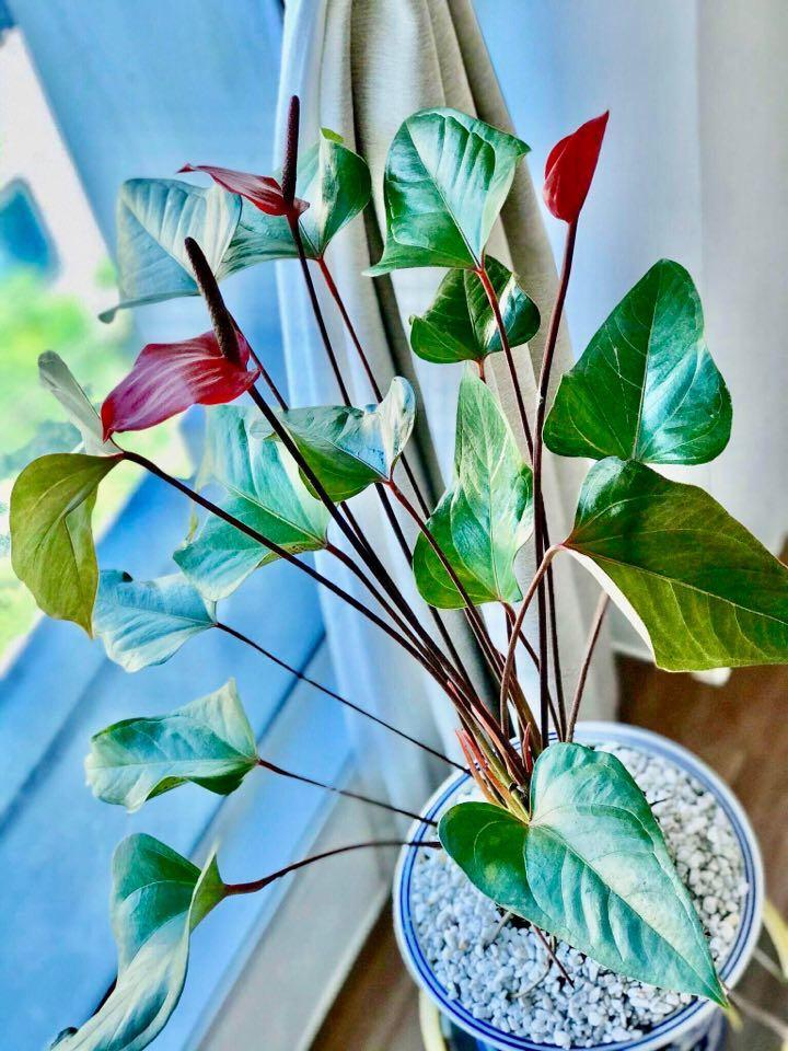Anthurium In Ceramic Pot Gardening Flowers Plants On Carousell