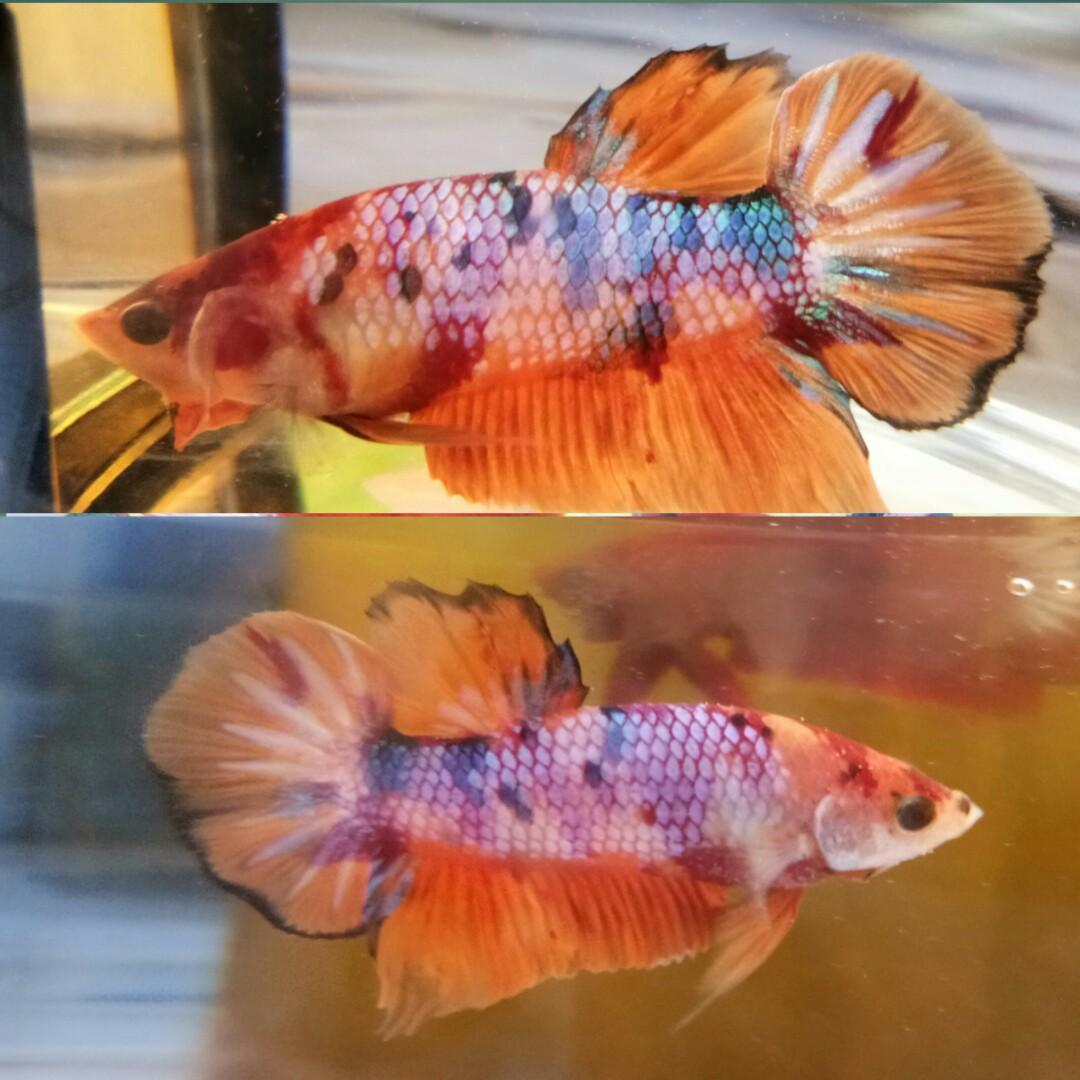 Ikan Cupang Nemo Multycollor Perlengkapan Hewan Aksesoris Hewan Di Carousell