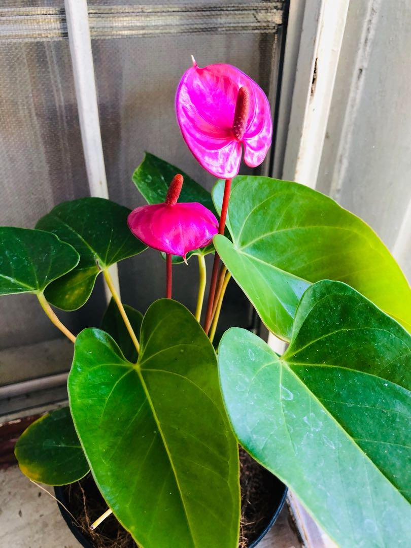 Anthurium Plant Care Tips Indoor Flowering Plant Youtube
