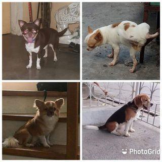 Chihuahua Minpin Beagle Yorkie Retriever Malamute Siberian Stud Service