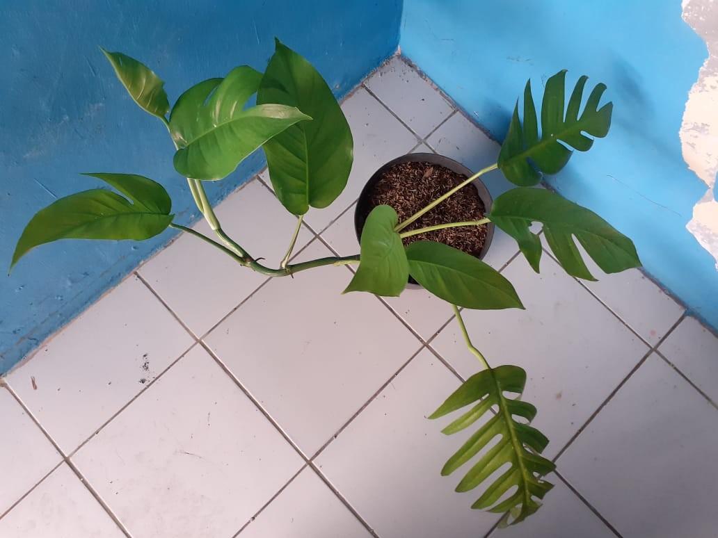 Tanaman Monstera Philodendron Pot Perkebunan Di Carousell
