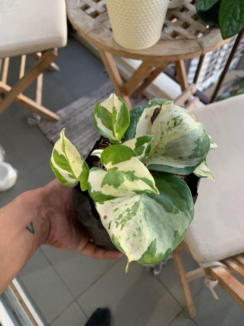 Manjula Pothos Gardening Flowers Plants On Carousell