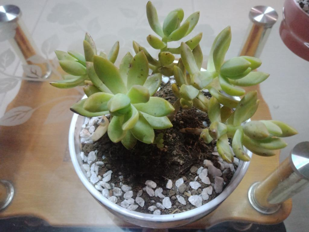 Ghost Plant Succulent Gardening Flowers Plants On Carousell