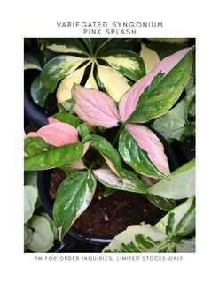 Rare Variegated Syngonium Plant for Sale