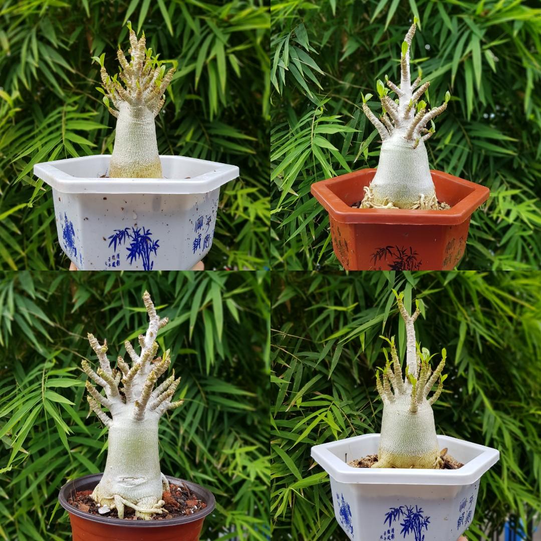Desert Rose Adenium Bonsai Thai Socotranum Gardening Plants On Carousell