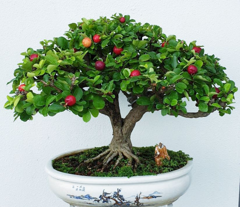 For Trade West Indian Cherry Bonsai Furniture Home Living Gardening Plants Seeds On Carousell