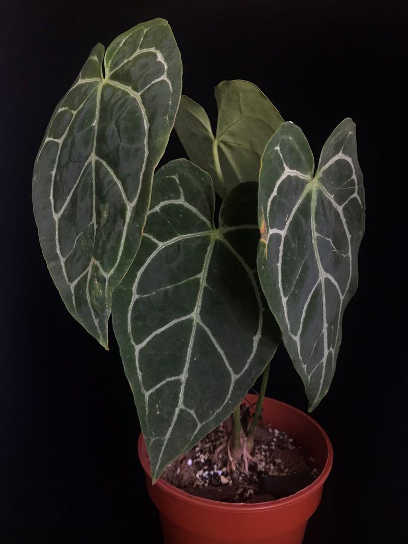 Anthurium Crystallinum Gardening Plants On Carousell