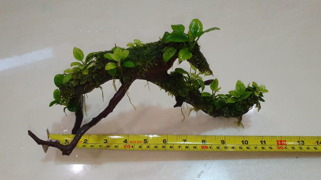 Unique Driftwood with Christmas moss and 10 pcs golden anubias nana ., Pet Supplies, For Fish ...