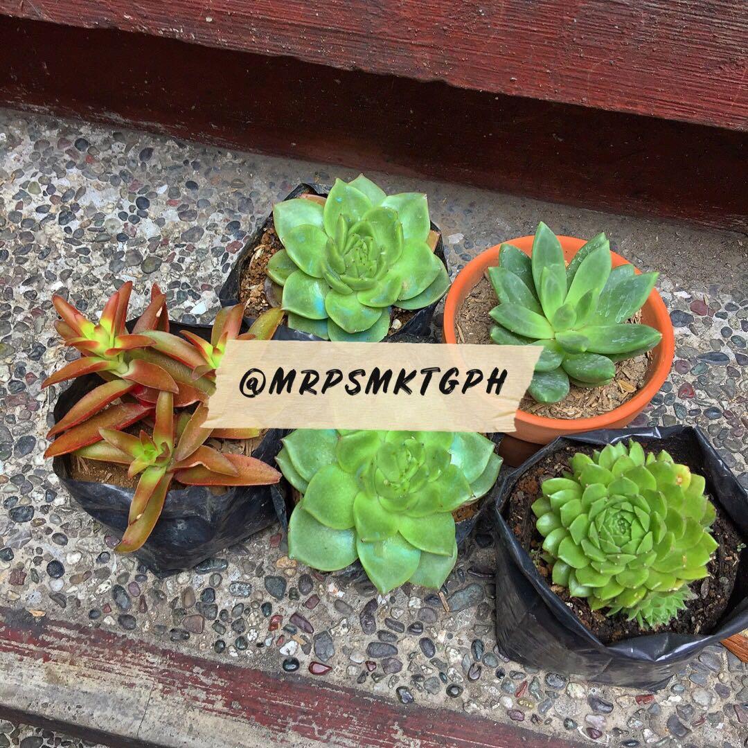 Little Jewel Succulent Echeveria Succulents Gardening Flowers Plants On Carousell