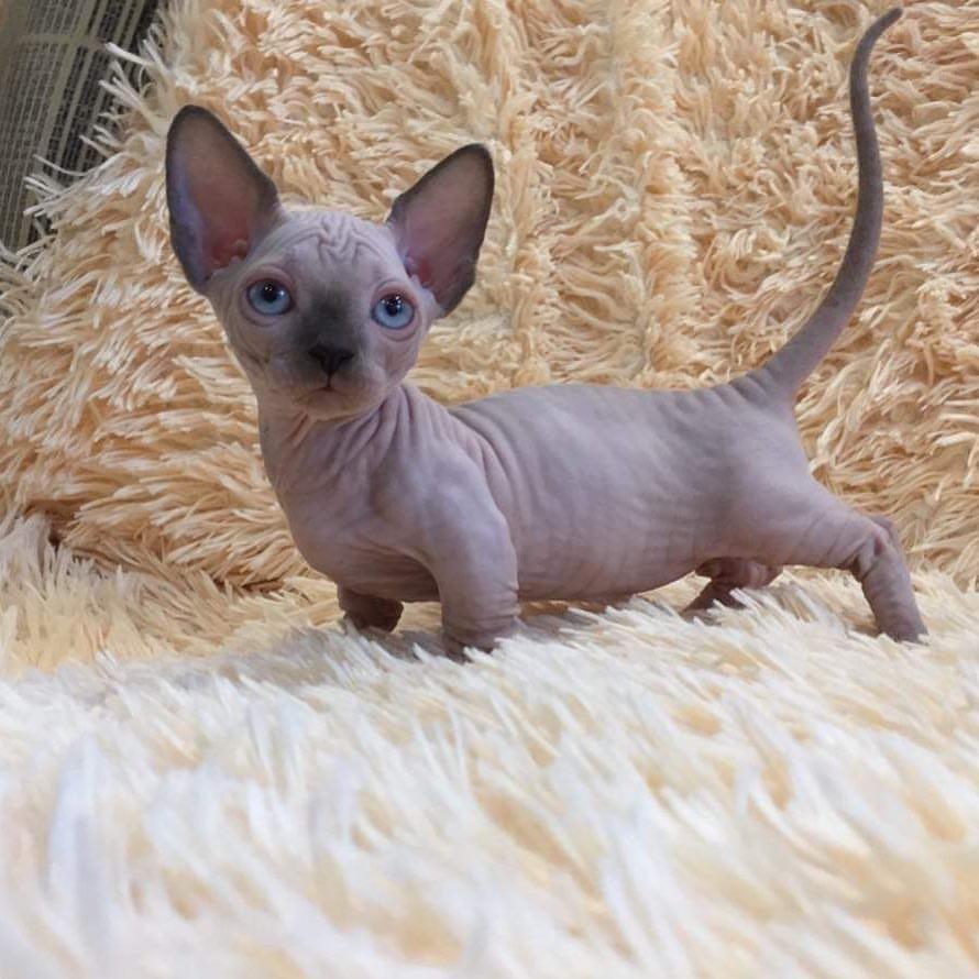 Hypoallergenic100% Hairless Sphynx cat!