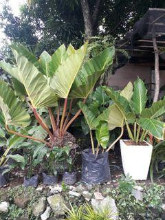 Anthurium Plants Flowers Plants Carousell Philippines