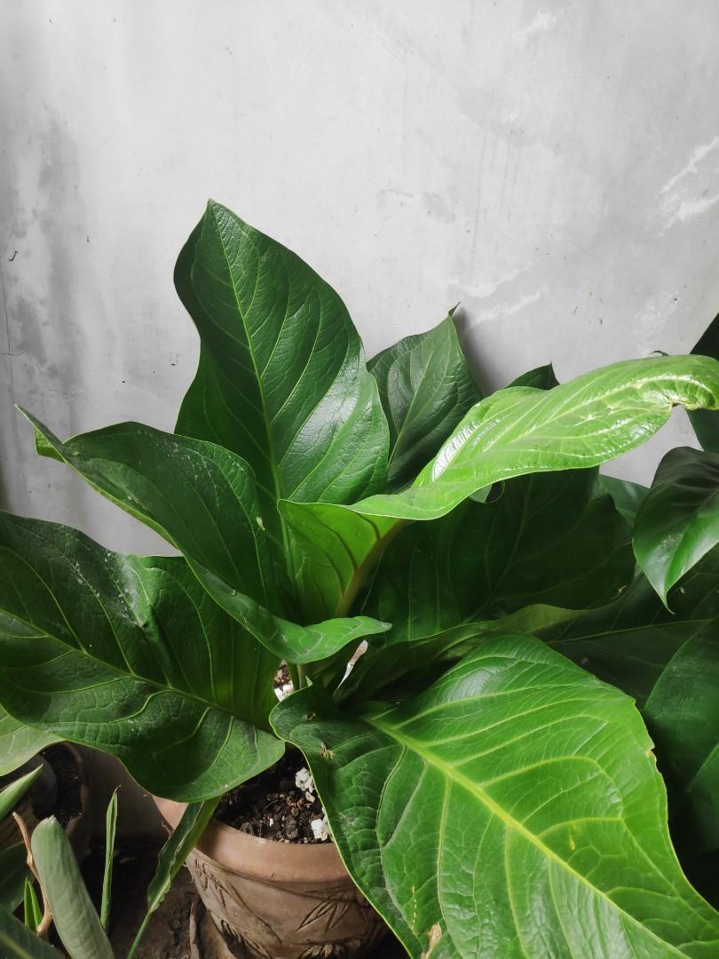 Anthurium Jenmanii Engl Exotic Rainforest Rare Tropical Plants