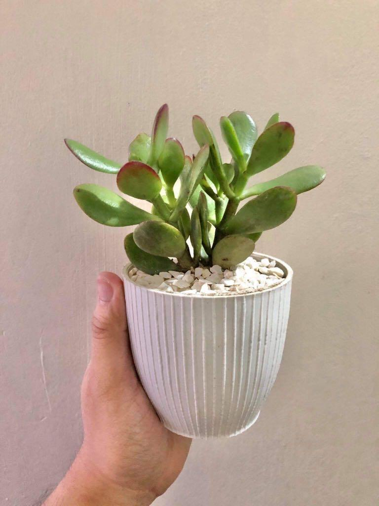 Jade Money Plant Indoor Home Office Condo Gardening Flowers Plants On Carousell