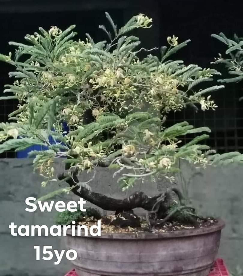 Sweet Tamarind Bonsai Fruiting Gardening Flowers Plants On Carousell