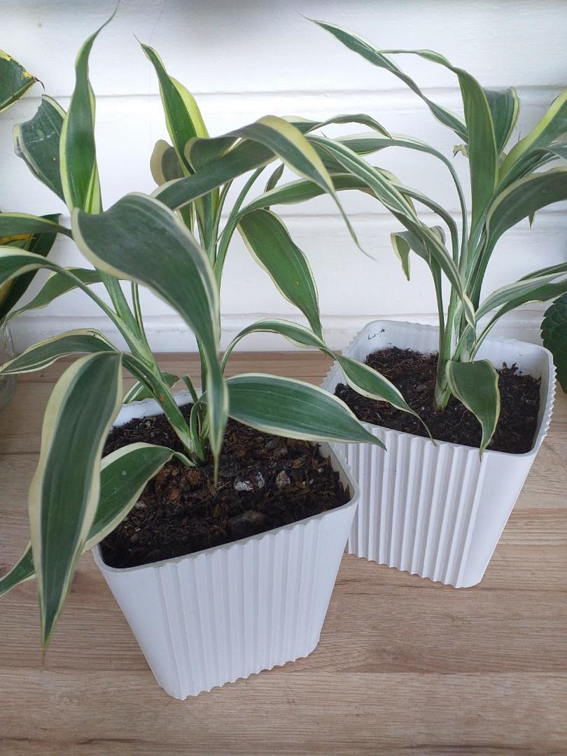 Lucky Bamboo Plant Indoor Plant Dracaena Reflexa Gardening 2 Stalks Meaning Luck For Love Gardening Flowers Plants On Carousell