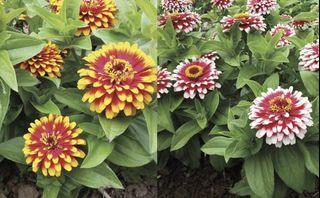 Swizzle Mixed Zinnia Elegans Flower Seeds