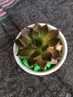 black prince succulent