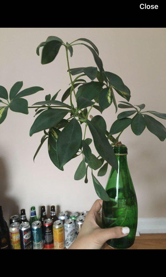 Umbrella tree plant rooted
