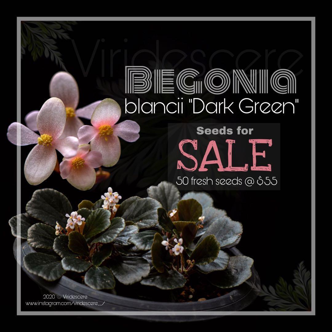 Begonia Blancii Dark Green 50 Fresh Seeds Gardening Plants On Carousell
