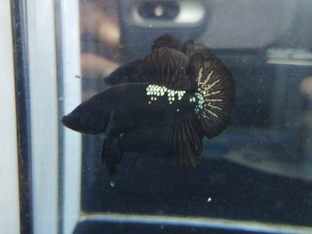 Ikan Cupang Avatar Cooper Super Black Cooper Antik Lainnya Di Carousell