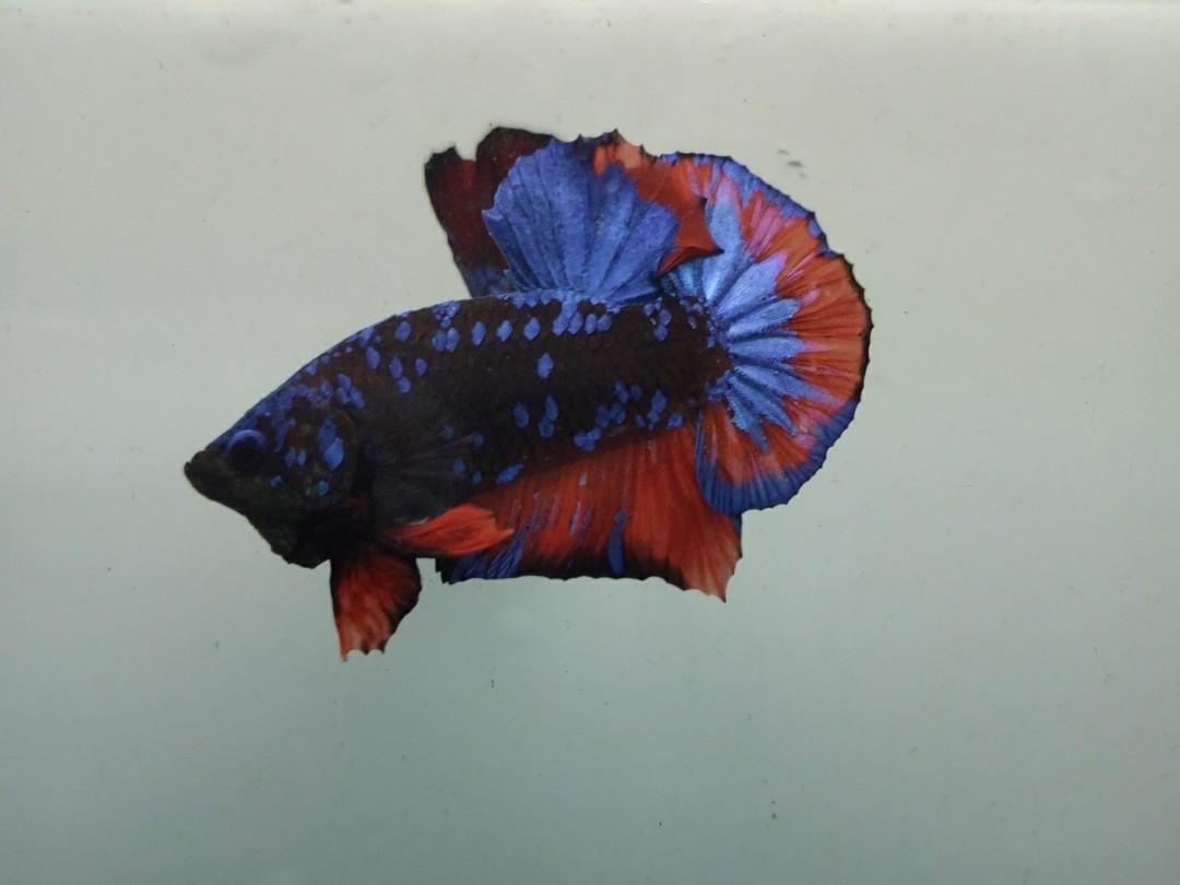 Ikan Cupang Avatar Gordon Fire Size Medium Mines Komunitas Di Carousell