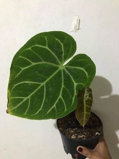 Philodendron Squamiferum Gardening Flowers Plants On Carousell