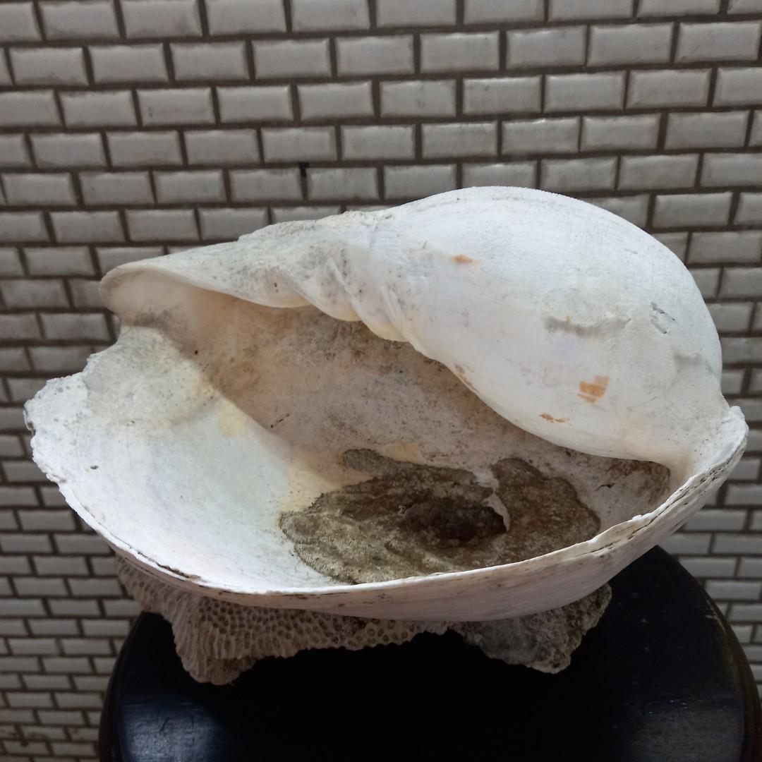 🏞大貝殼連結海底岩石, 約兩到3公斤~自收藏