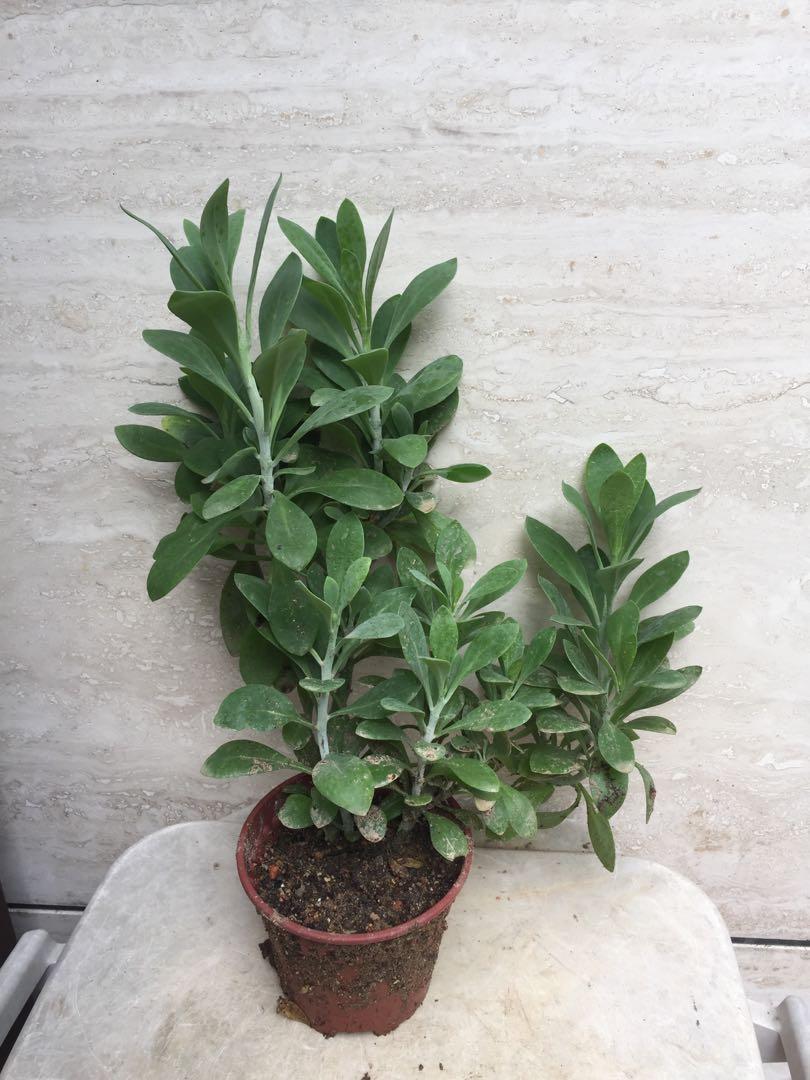 川莲Senecio ampliflorus G.D.Rowley 菊科