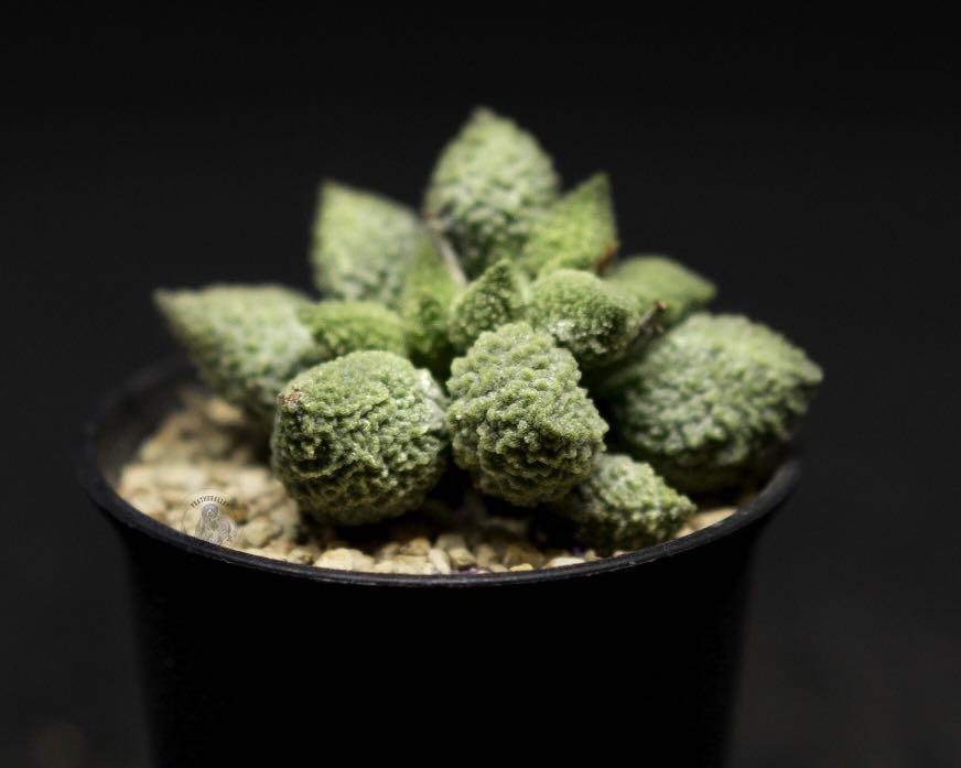 """Adromischus """"Lime Drops"""" succulent"""
