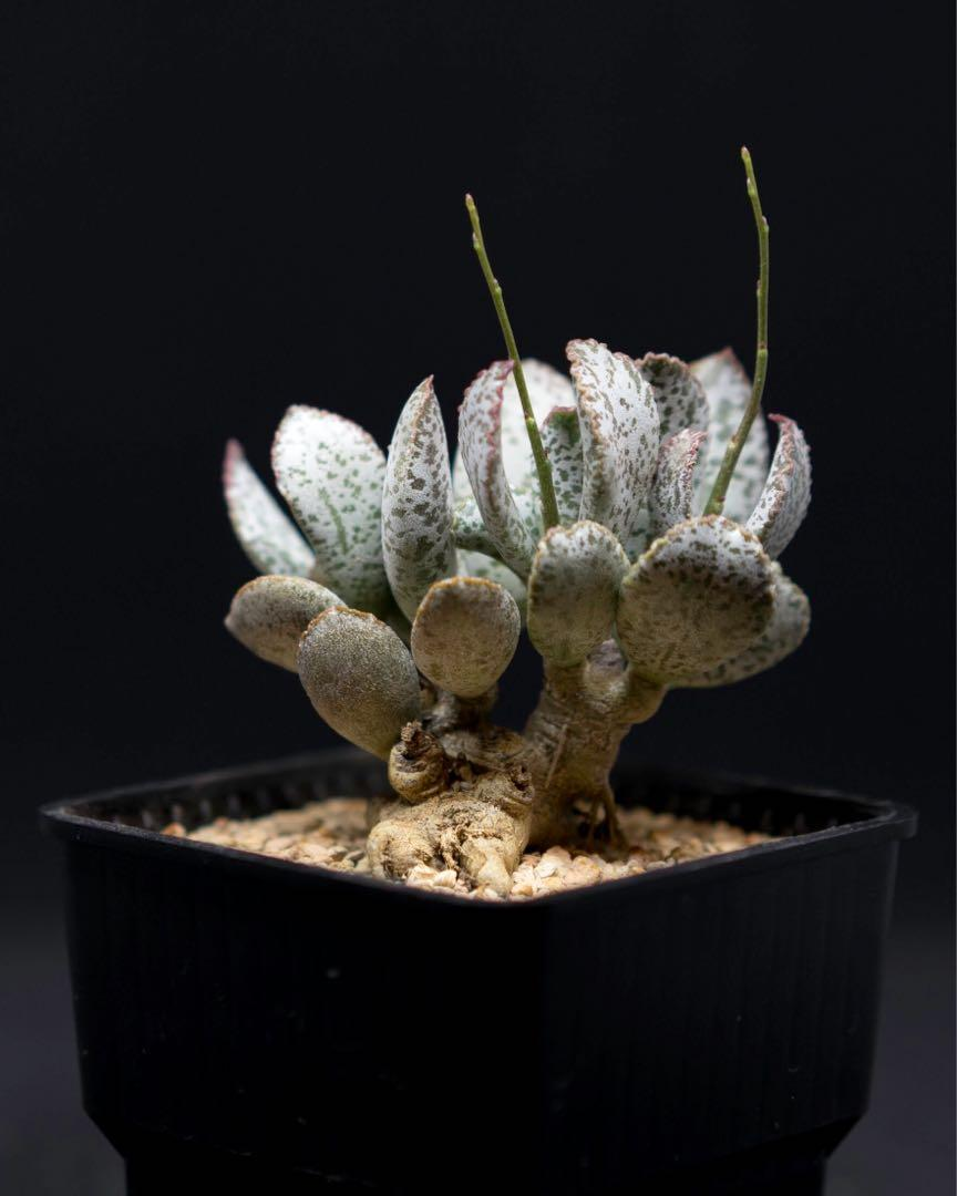 """Adromischus """"spotted jaguar"""" (very old plant with exposed caudex)"""