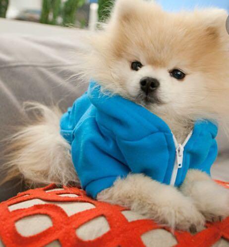 Dog Hoodie, American Apparel (XS-Blue)