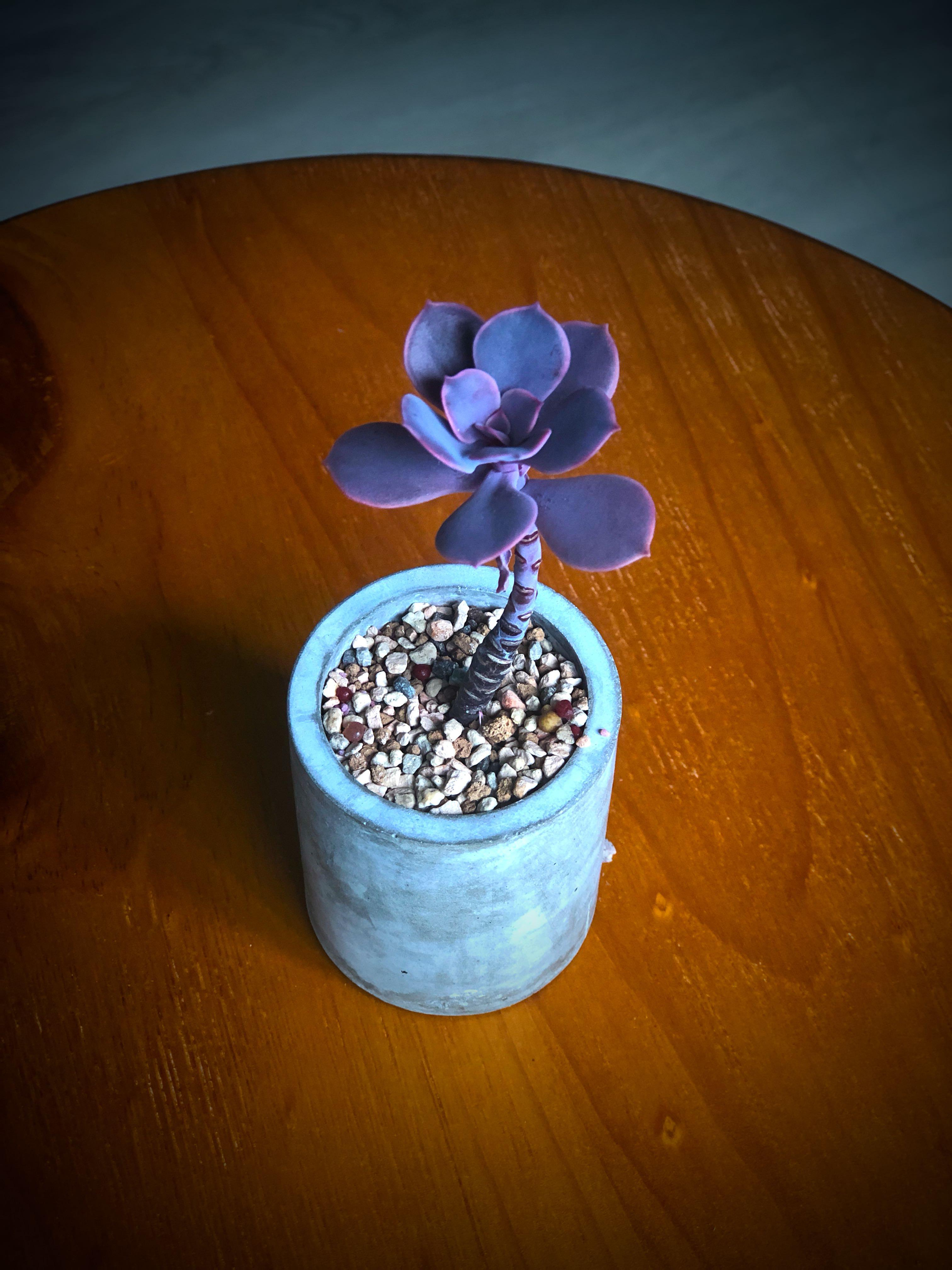 Echeveria succulent (comes with ceramic pot)