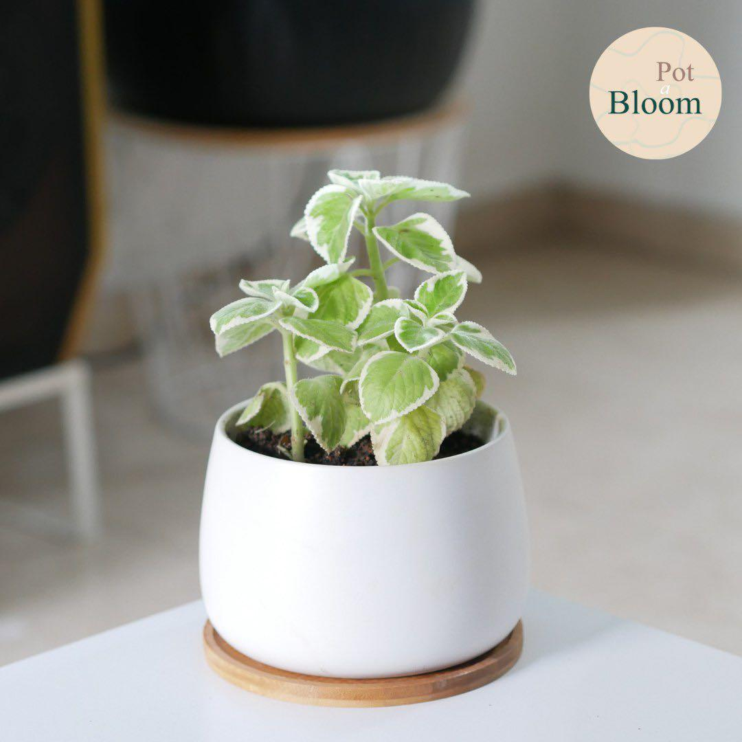 Indoor Plant (Variegated Mintleaf) *Perfect for gifting!