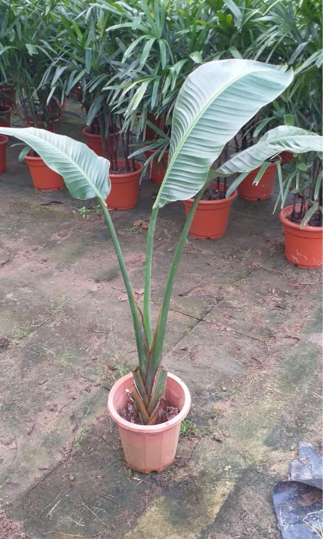 Bird of paradise Nicolai offer