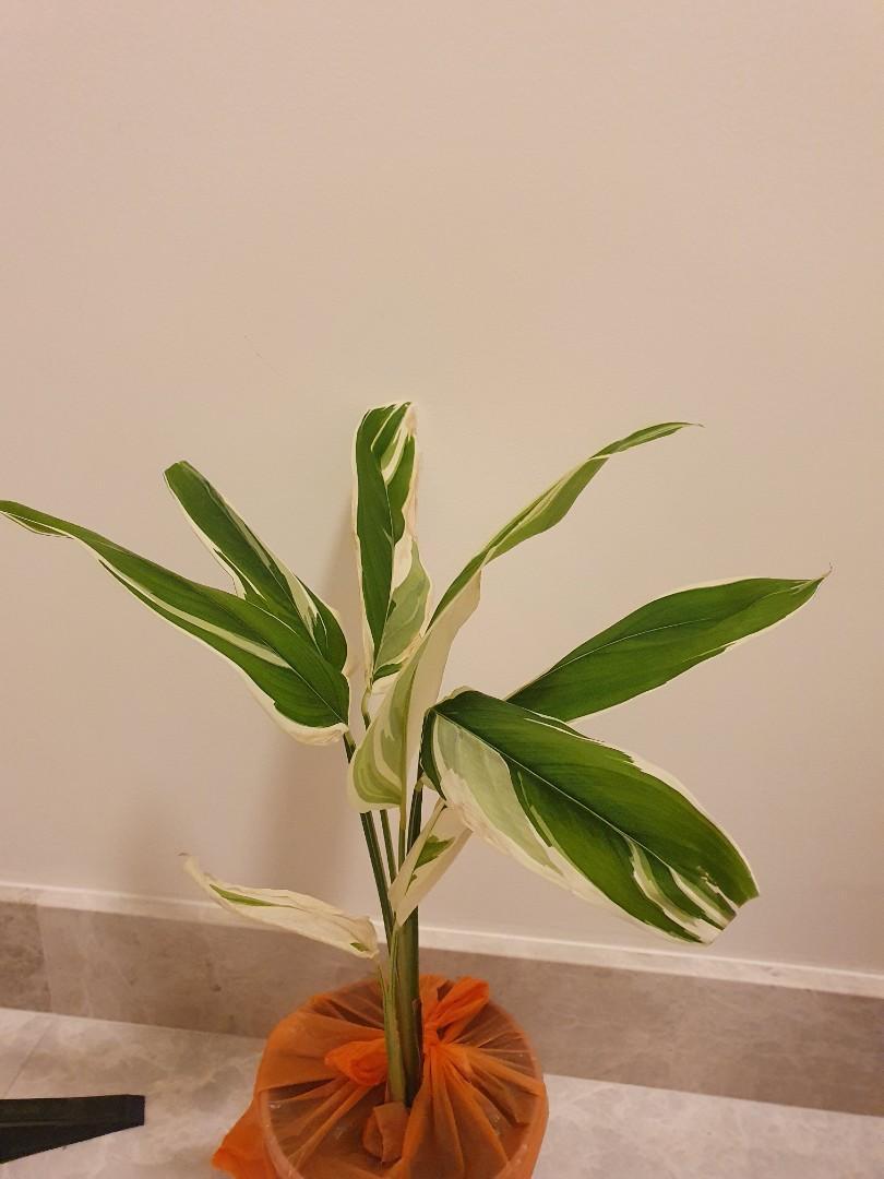 Rare variegated maranta  (very albo)