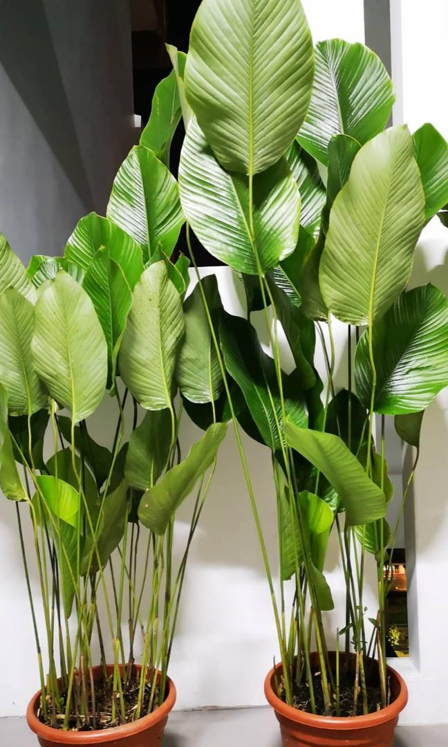 Sweet Prayer, Katemfe 💚🌱 Thaumatococcus daniellii indoor plant at night this plant will be so straight and in the morning he will show you his beautiful leaves 😍 so interesting plant 💜💛❤️💚