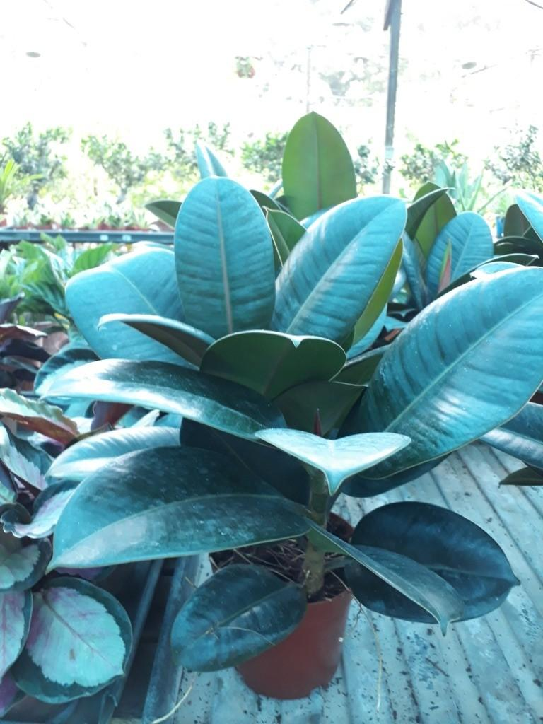 FICUS USA RUBBER PLANT