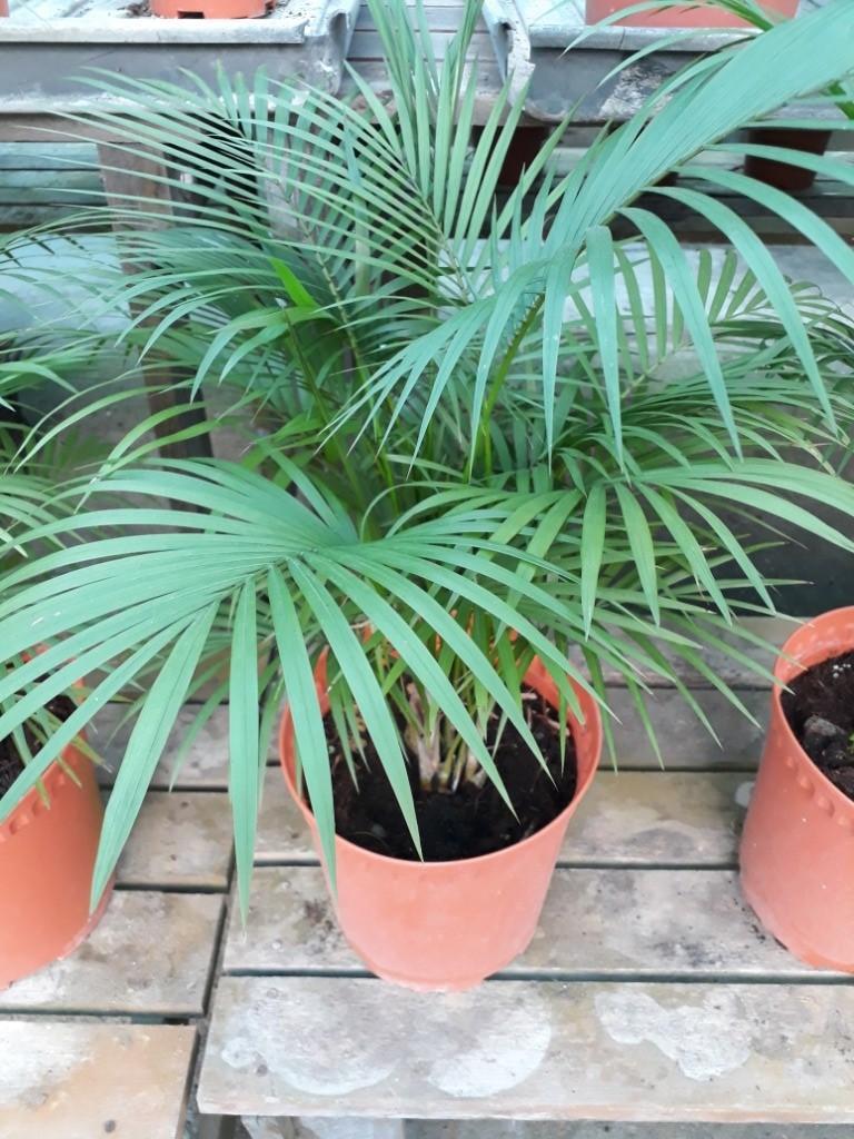 PALM TREE RHOPALOBLASTE CERAMICA