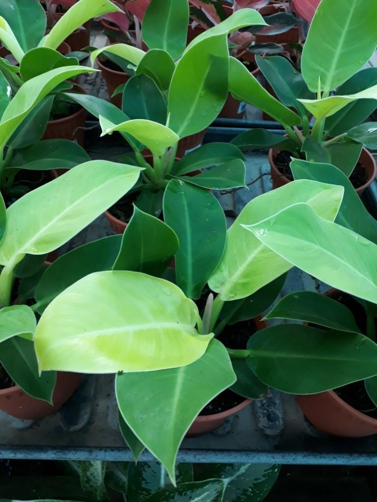 PHILODENDRON APPLE GREEN