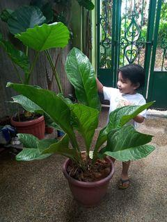 Anthuriums Flowers Plants Carousell Philippines